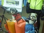Reese & Rocco - Cycling Shitzus