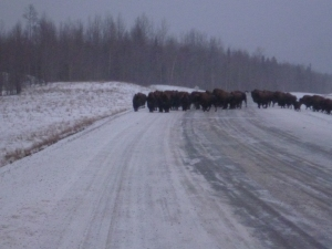Bison Herd in search of salt on the roads