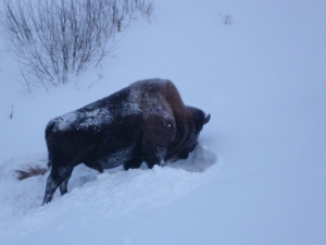 Bison near Liard River