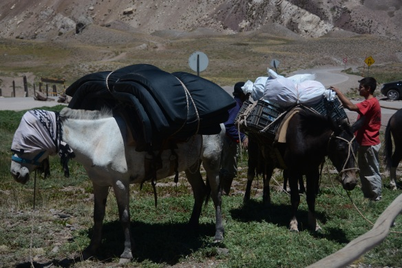 Mules waiting to carry supplies up to the various camps on Aconcagua.